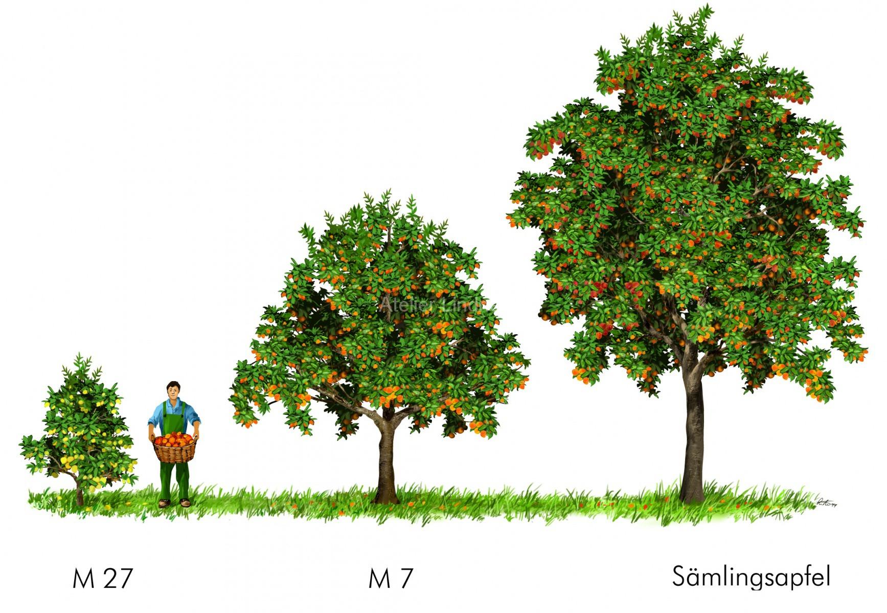 Apfelbäume2